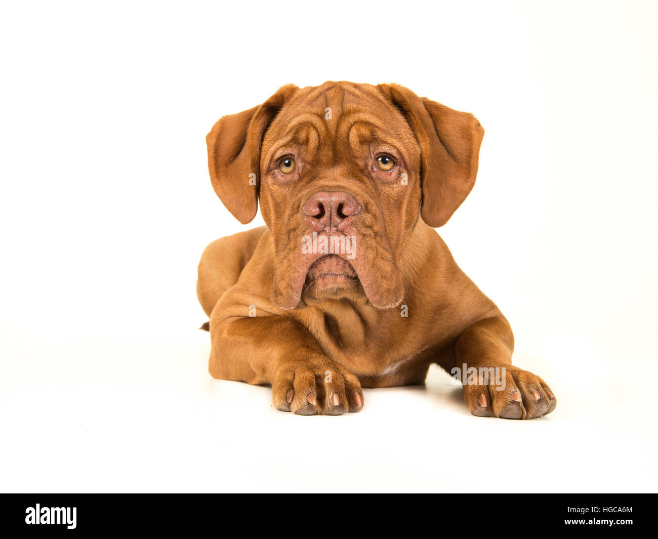 Cute bordeaux dogue lying down on the floor with its head up isolated on a white background - Stock Image