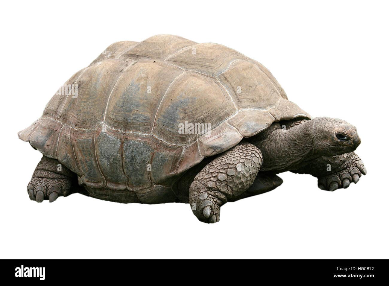 Geochelone gigantea, Aldabra giant tortoise - Stock Image