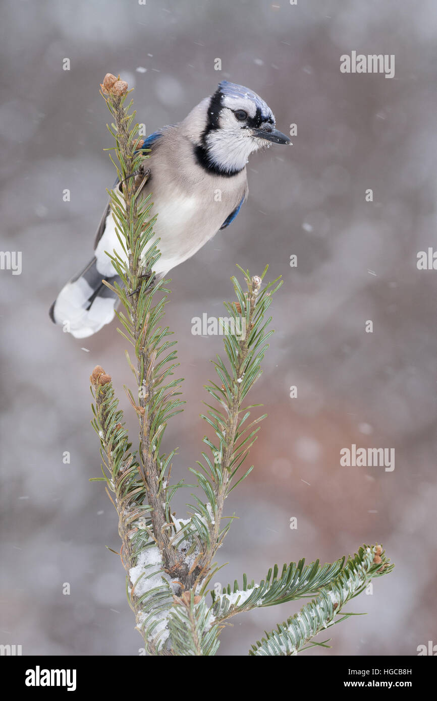 Blue jay in snow storm. - Stock Image