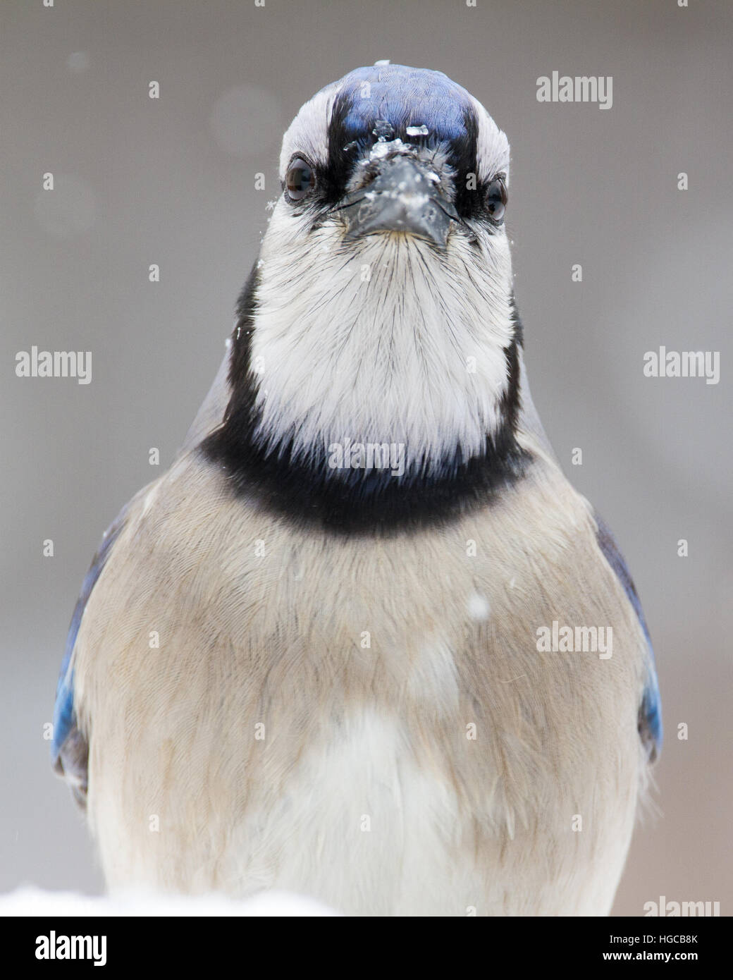 A portrait of a blue jay. - Stock Image