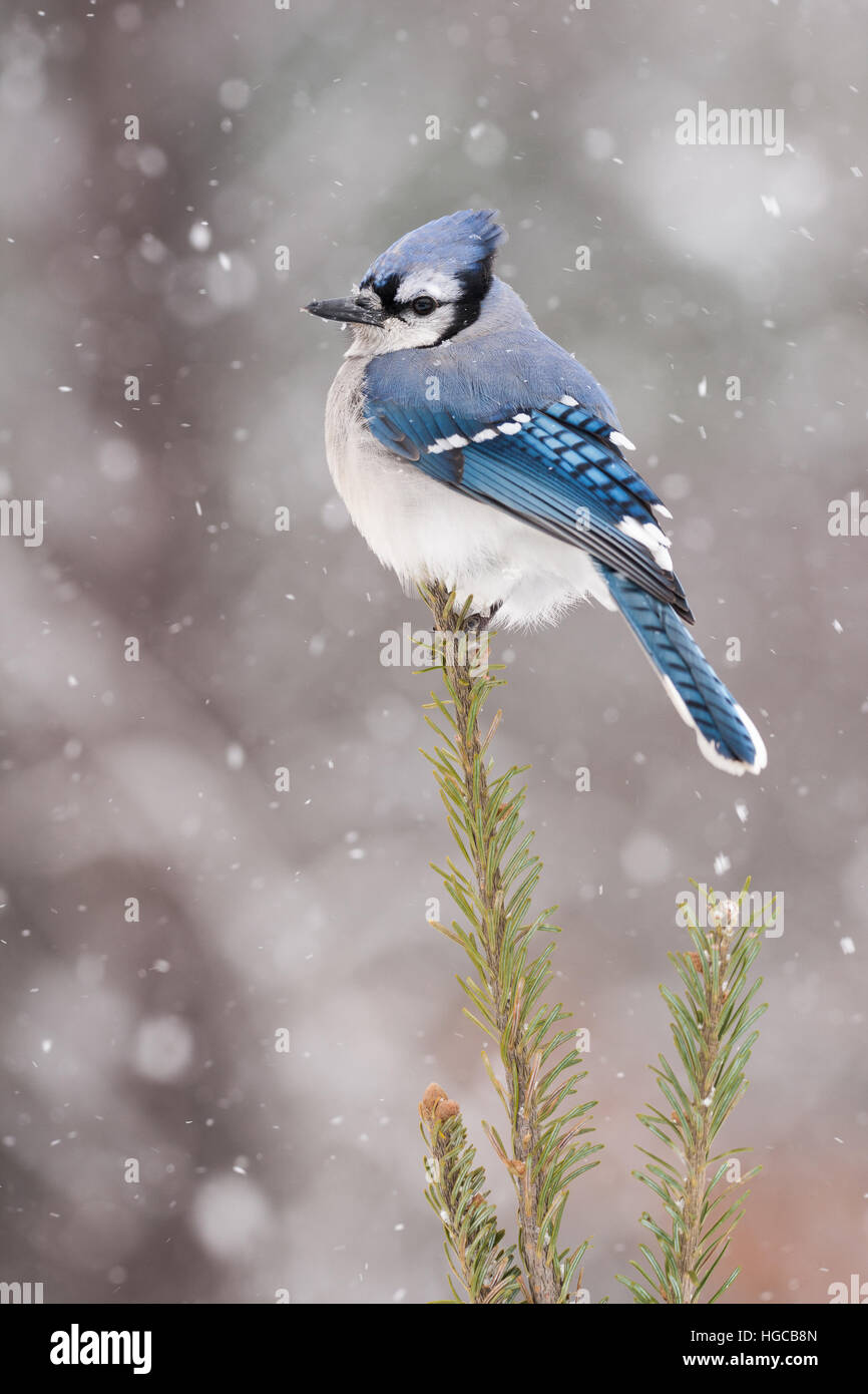 Blue Jay Surrounded By Snow - Stock Image