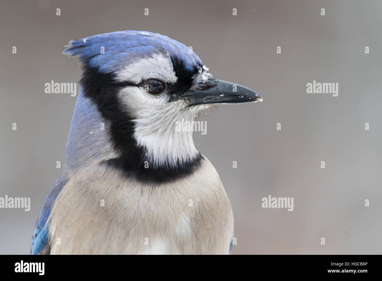 A closeup of a blue jay during a snow-fall Stock Photo