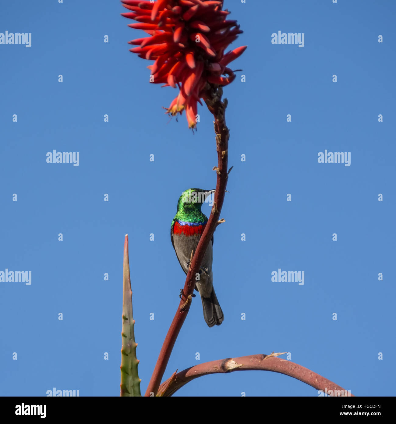 A Southern Double-collared Sunbird perched on a red aloe plant in Southern Africa - Stock Image