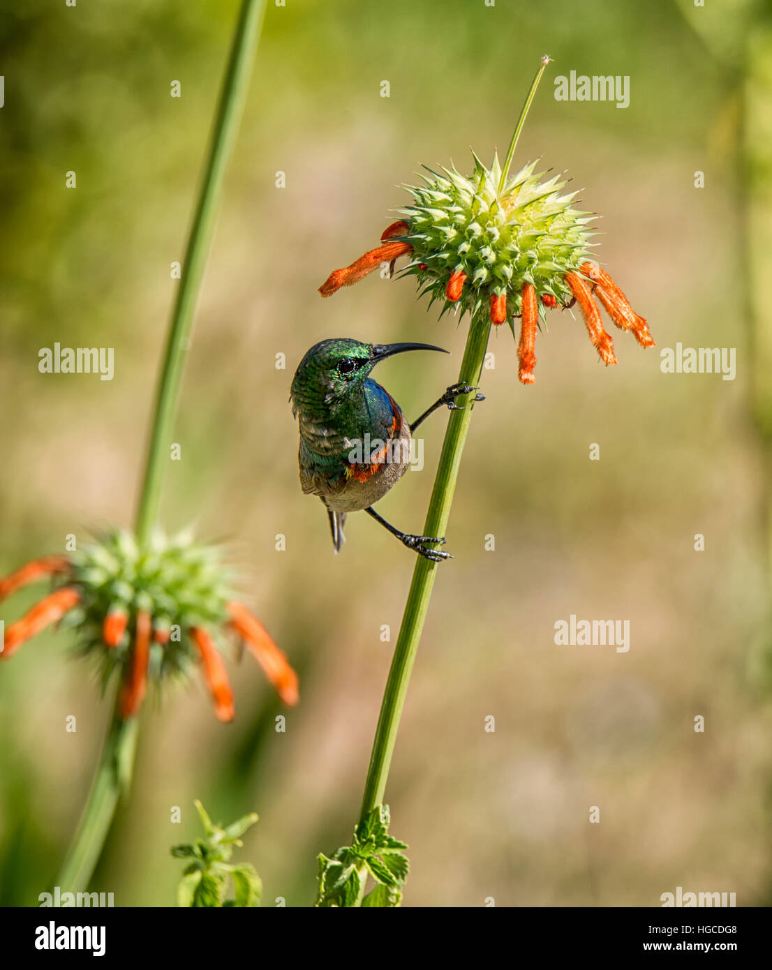A Southern Double-collared Sunbird perched on a Wild dagga plant in Southern Africa - Stock Image