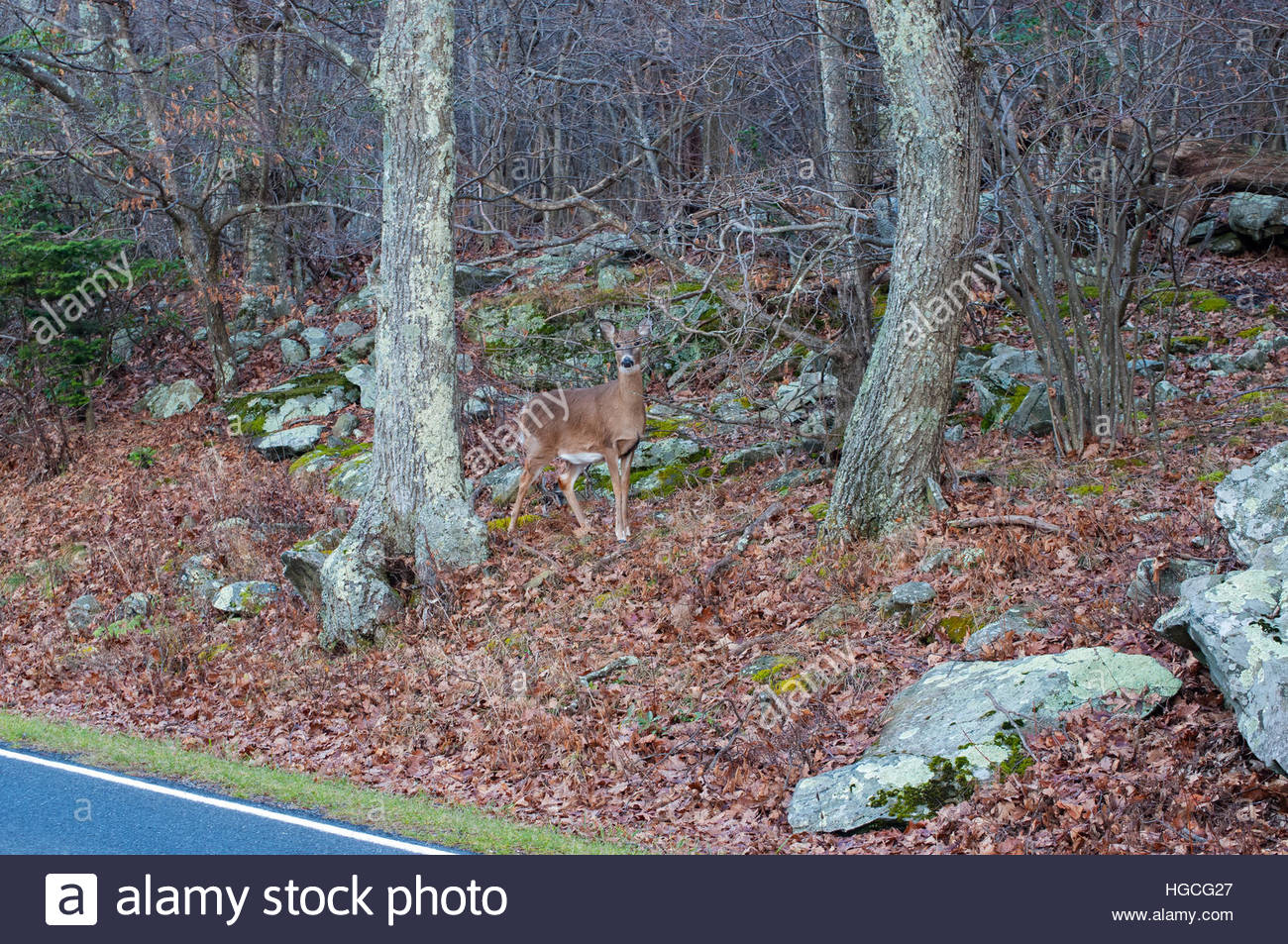 Deer in Southern Appalachia off Skyline Drive, Shenandoah National Park - Stock Image