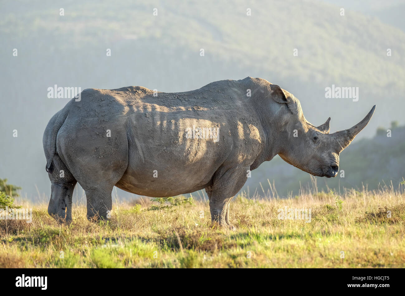 Photo of a white Rhino in the wild on an African plain. Stock Photo