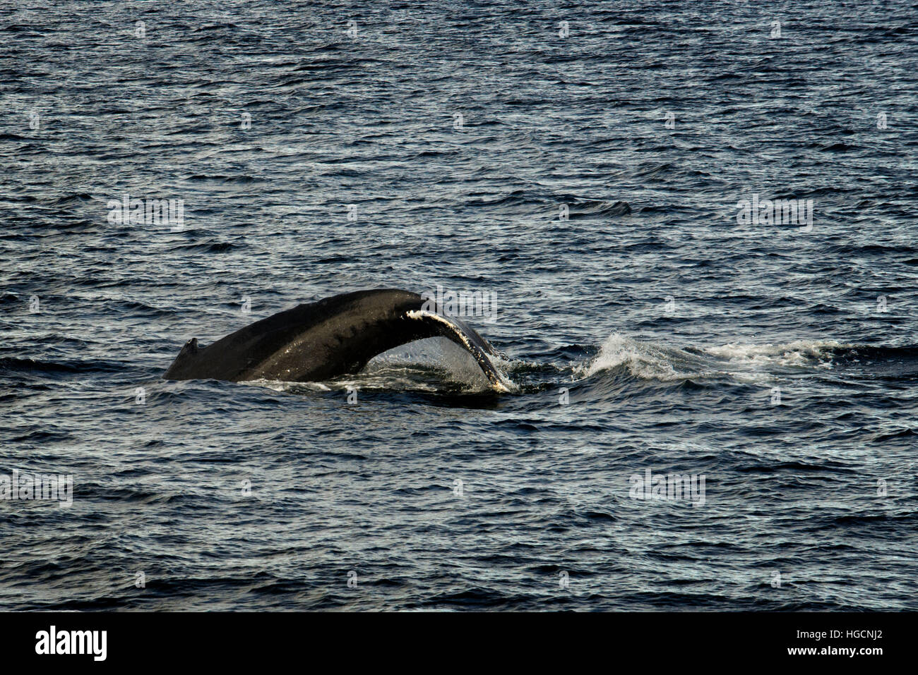 Humpback Whales blowing and diving and Five Fingers Lighthouse. Frederick Sound. Stephen's Passage. Petersberg. - Stock Image