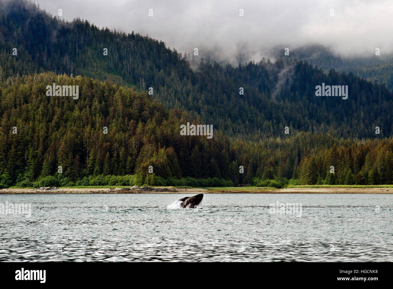 Humpback Whales blowing and diving in Icy Strait. Glacier Bay National Park adn Preserve. Chichagof Island. Juneau. Stock Photo