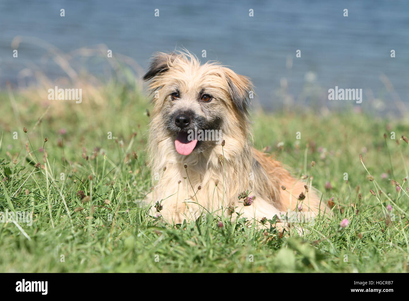 Dog Pyrenean Shepherd fawn adult lying  in a meadow front of a lake Stock Photo