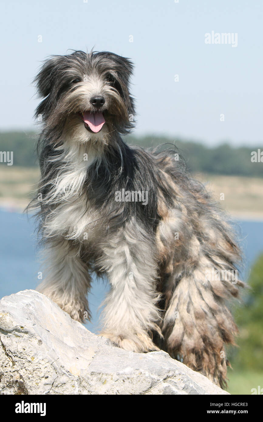 Dog Pyrenean Shepherd adult adults blue merle on a rock standing At the edge of a lake - Stock Image