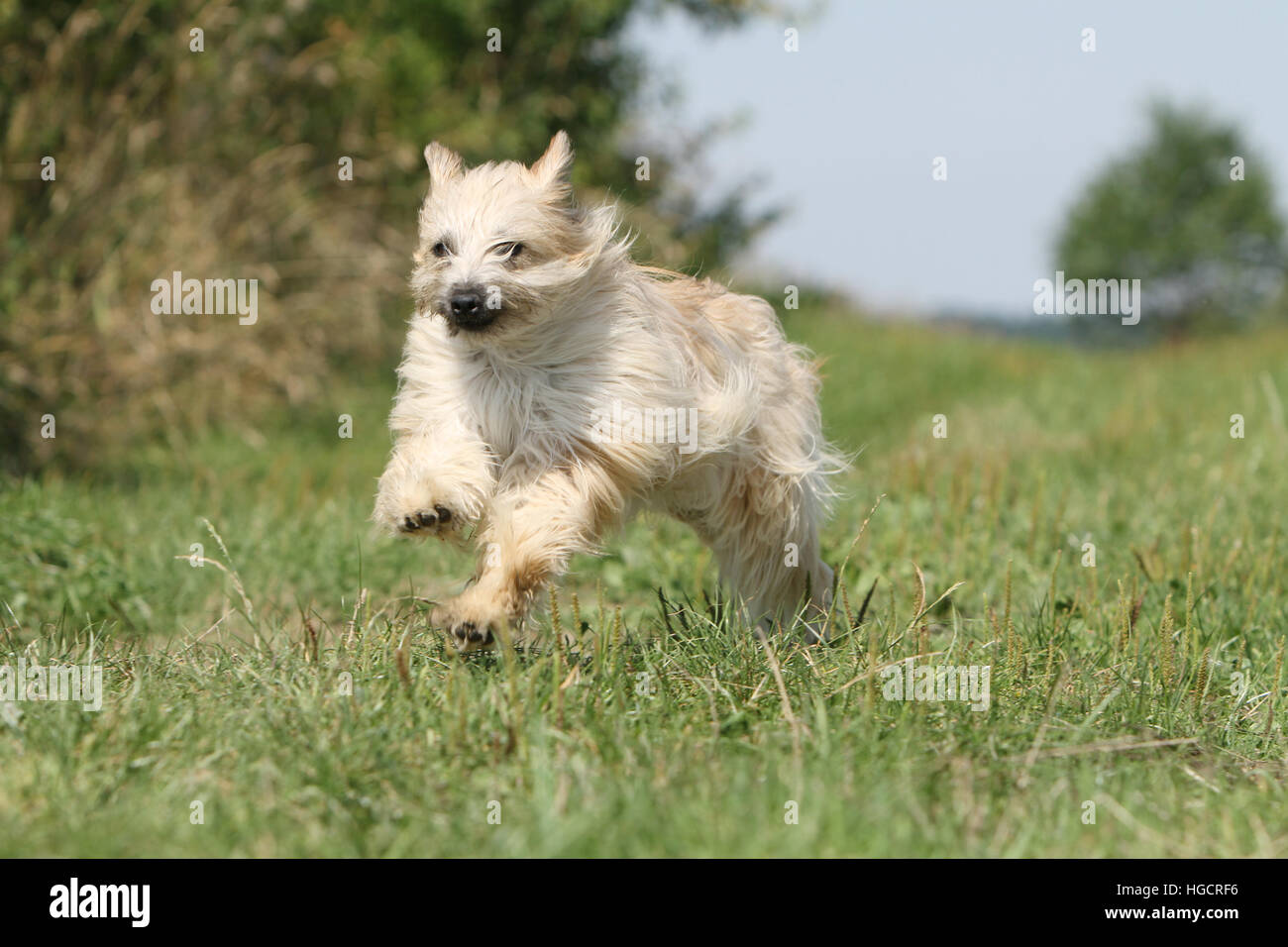 Dog Pyrenean Shepherd adult adults fawn in a meadow running  face Stock Photo