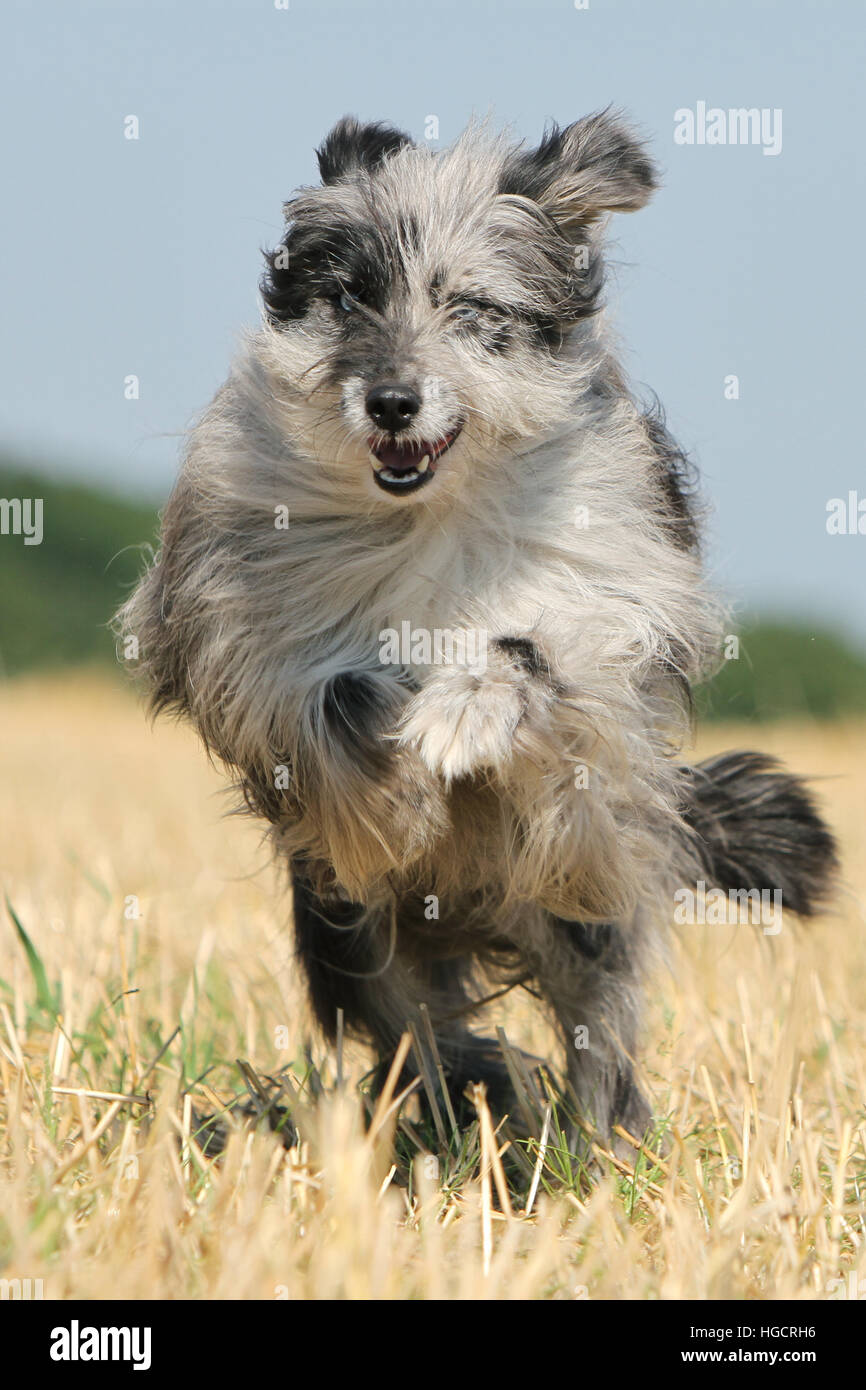 Dog Pyrenean Shepherd adult blue merle running In a straw field face portrait - Stock Image