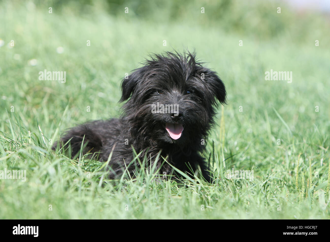 Dog Pyrenean Shepherd adult adults lying in a meadow black face Stock Photo