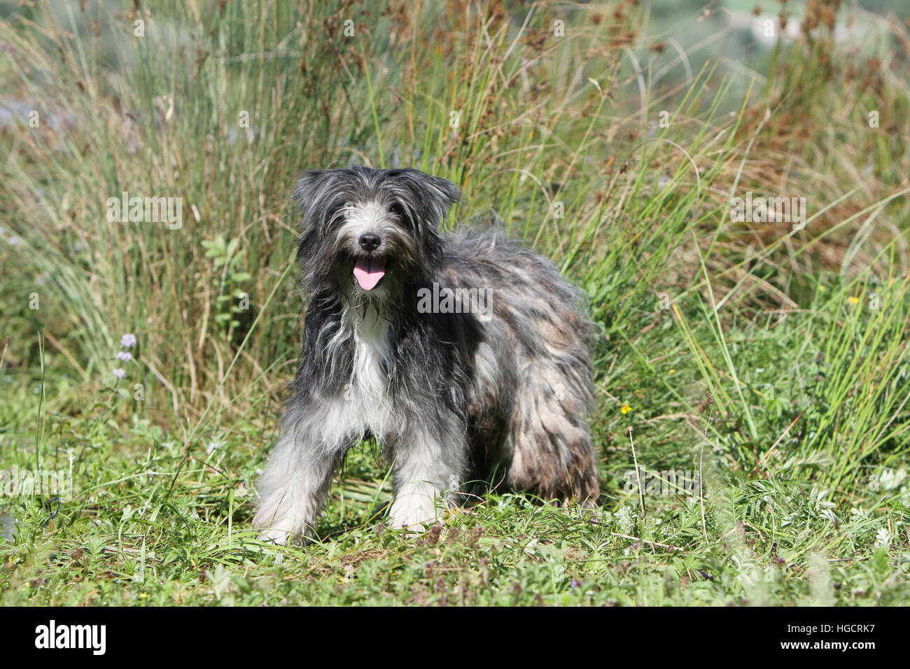 Dog Pyrenean Shepherd adult standing in a meadow beach blue merle Stock Photo