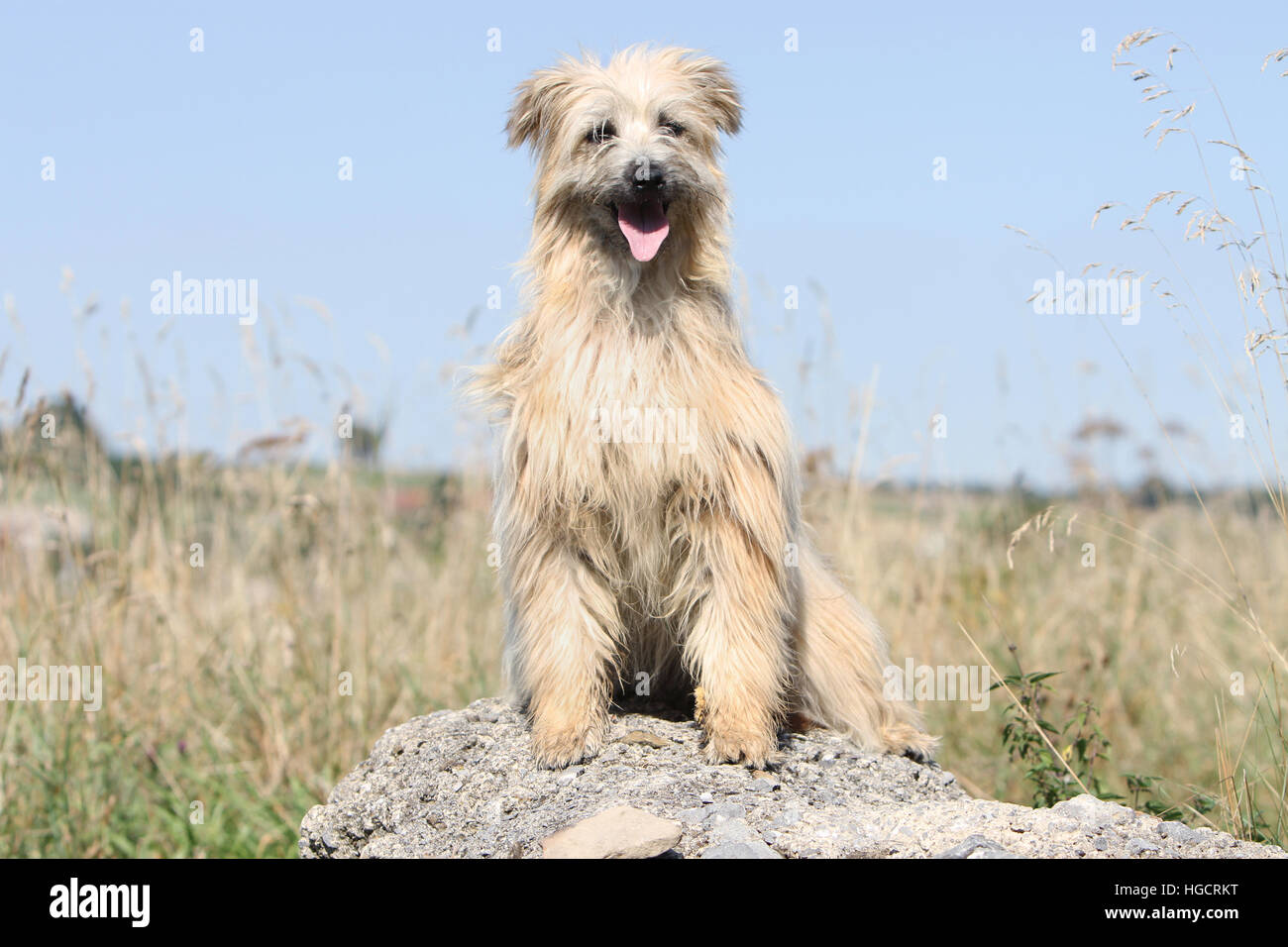Dog Pyrenean Shepherd adult adults fawn on a rock standing Stock Photo