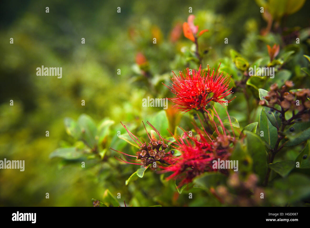 Hawaiian flower stock photos hawaiian flower stock images alamy ohio lehua hawaiian flower these flowers can be found throughout the jungles of hawaii izmirmasajfo