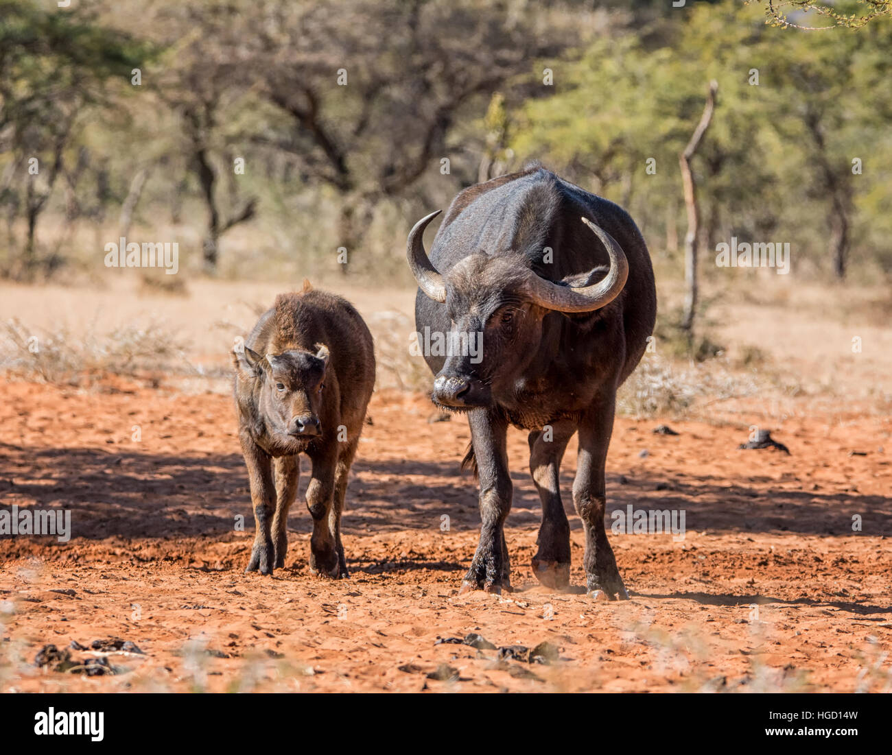 African Buffalo mother and calf - Stock Image