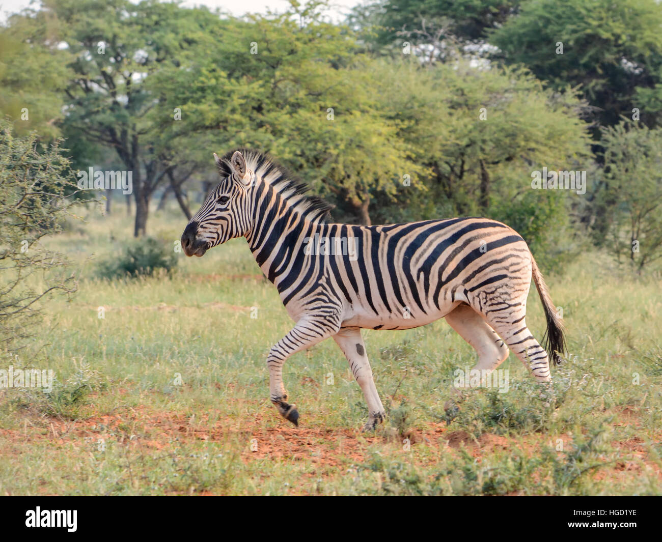 An adult Burchell's Zebra trotting through the Southern African savannah - Stock Image
