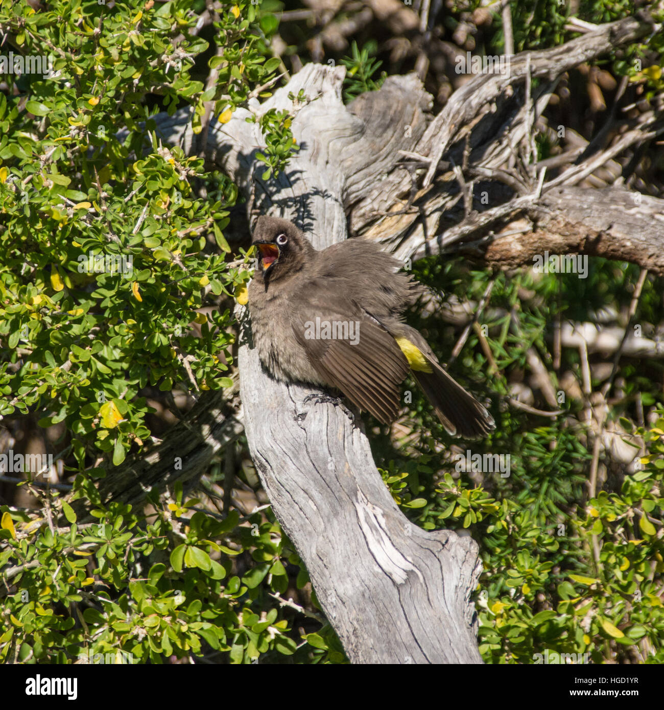 A Cape Bulbul perched singing on a branch in Southern Africa Stock Photo
