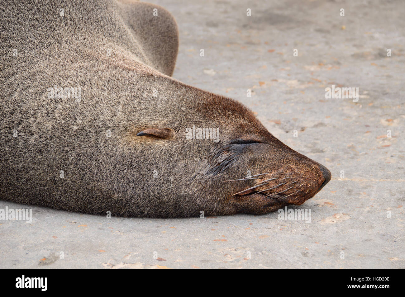 A Cape Fur Seal having a snooze on a jetty in Southern Africa - Stock Image