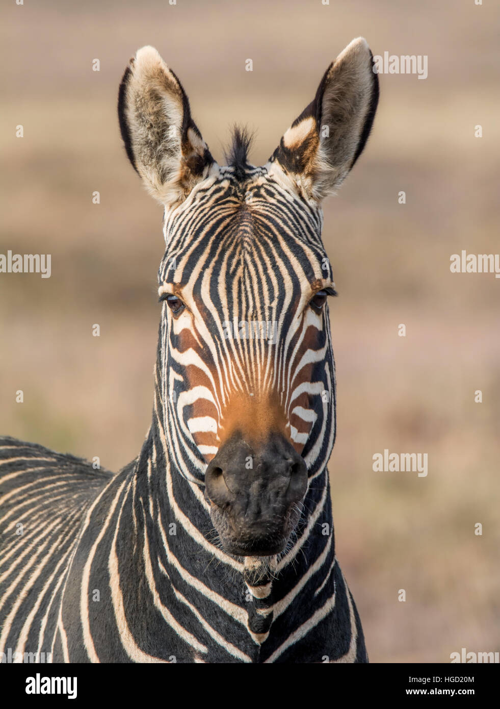 Portrait of a Cape Mountain Zebra in Southern African savannah Stock Photo