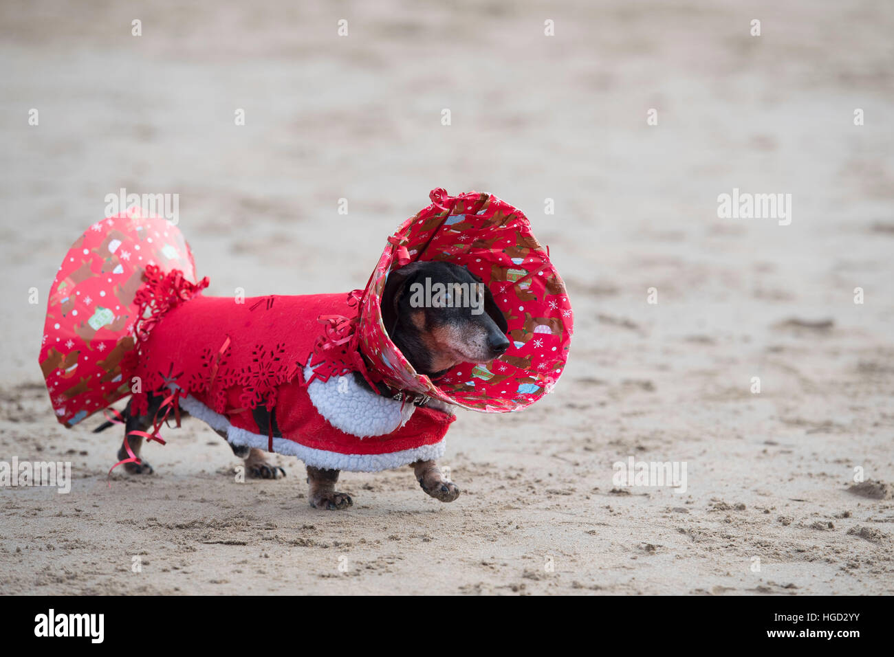 a dachshund sausage dog dressed in christmas fancy dress as a christmas cracker stock