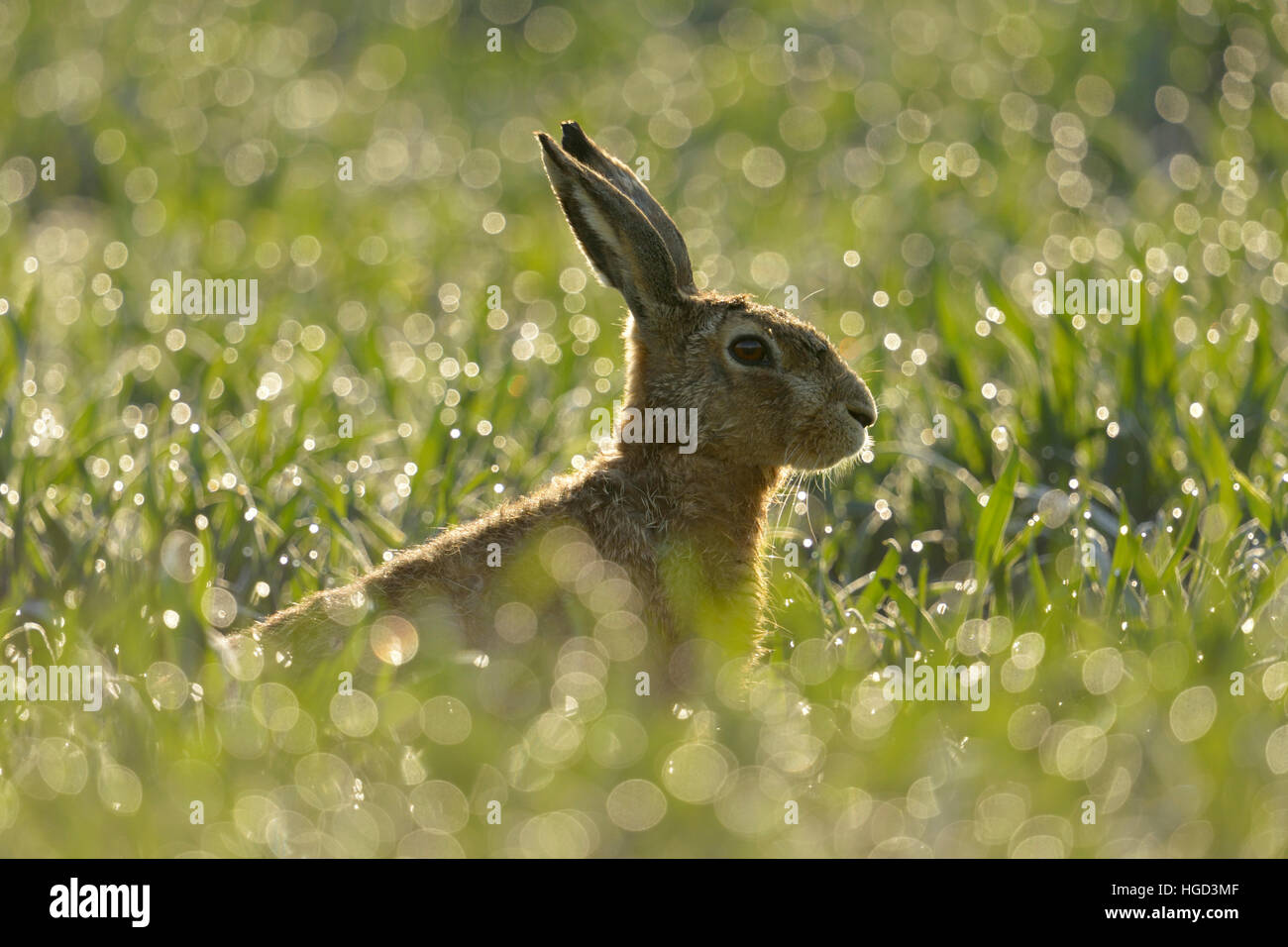Brown Hare / European Hare ( Lepus europaeus ) sits in a dew wet field of winter wheat, in first morning sunlight, - Stock Image