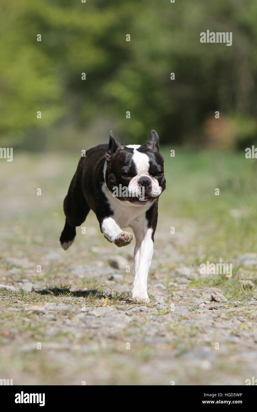 Dog Boston Terrier adult adults black with white running  face - Stock Image