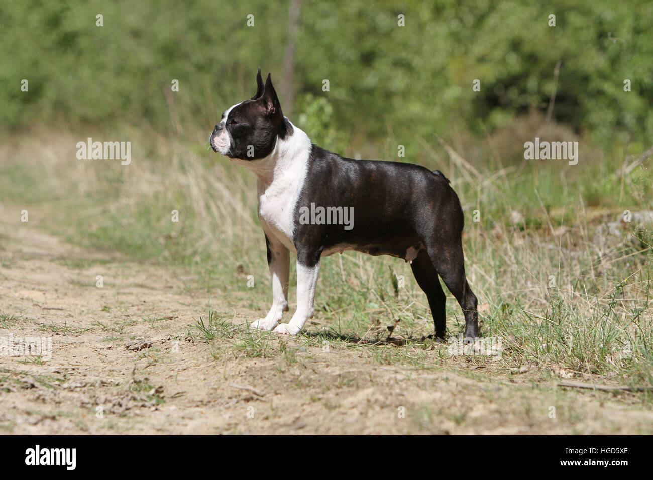 Dog Boston Terrier adult adults black with white standing face standard - Stock Image