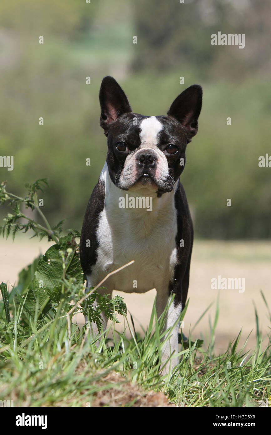 Dog Boston Terrier adult adults black with white standing face - Stock Image