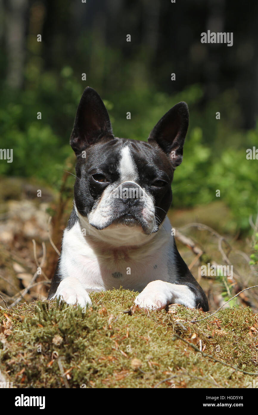 Dog Boston Terrier adult (white and brindle) lying - Stock Image
