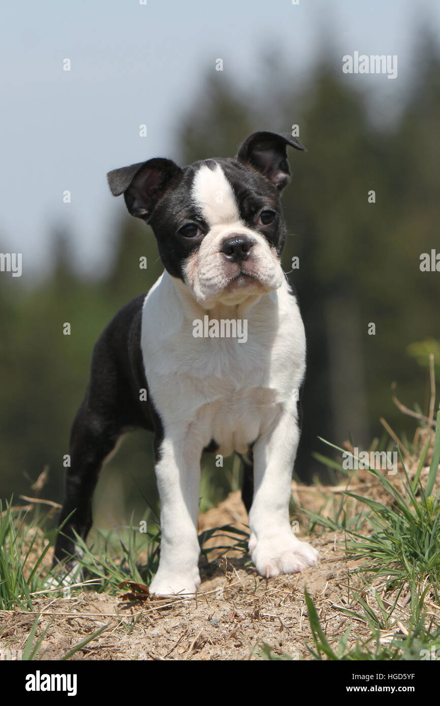 Dog Boston Terrier puppy black with white standing face - Stock Image