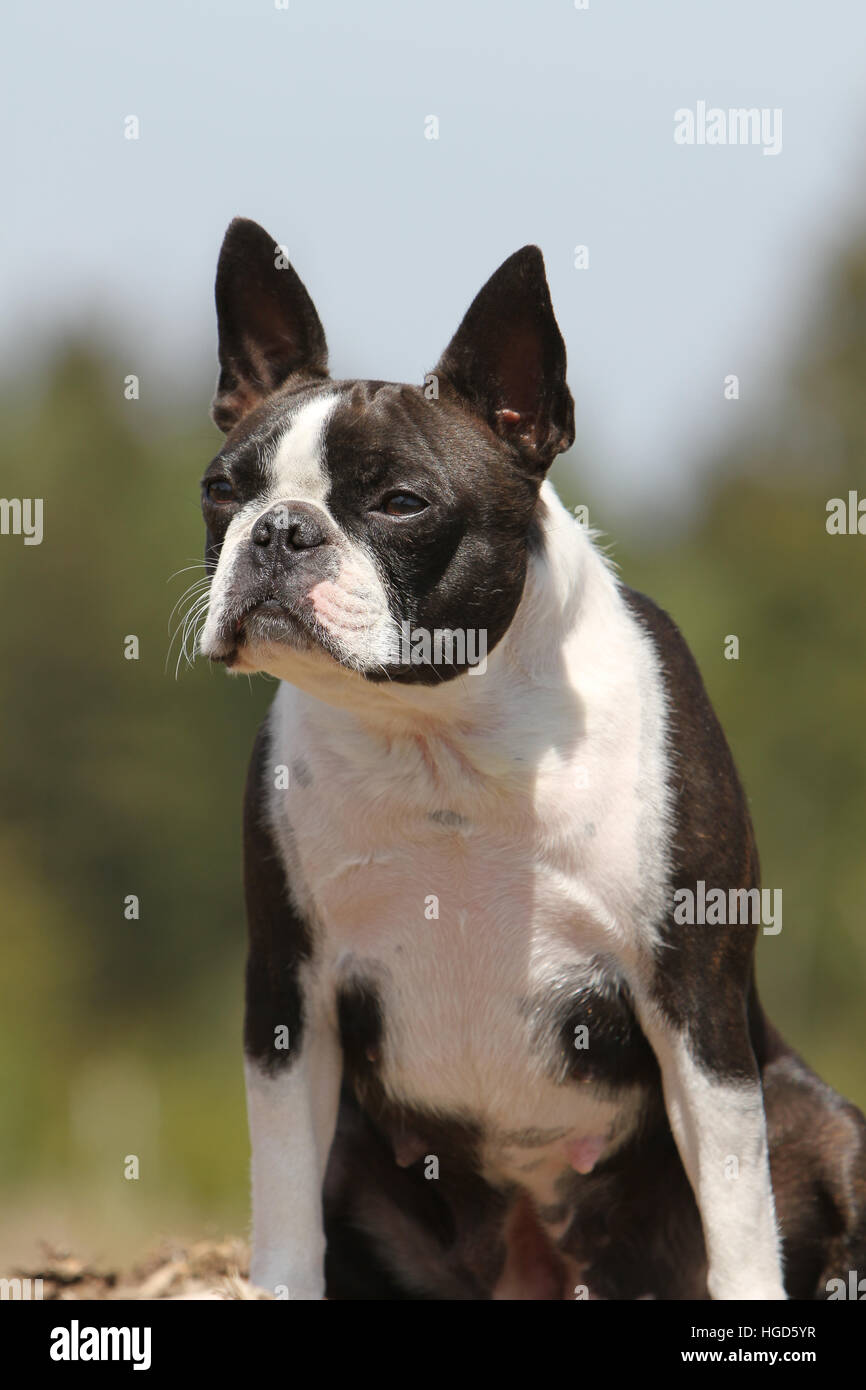 Dog Boston Terrier adult (white and brindle) sitting - Stock Image