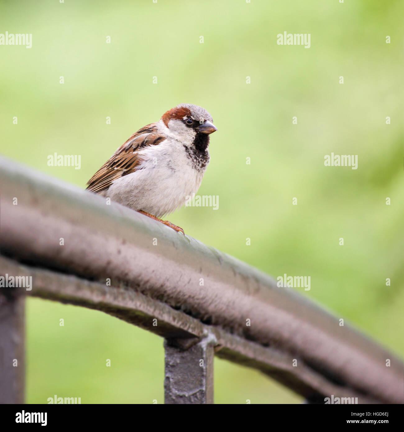 Sparrow Bird Passer domesticus On Bridge Rail, Closeup, Large Detailed Stock Photo