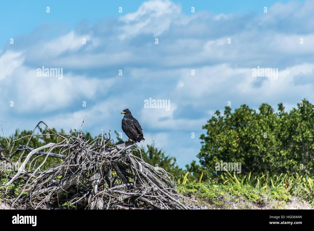 Hawk free falcon wildlife bird in mexico yucatan - Stock Image
