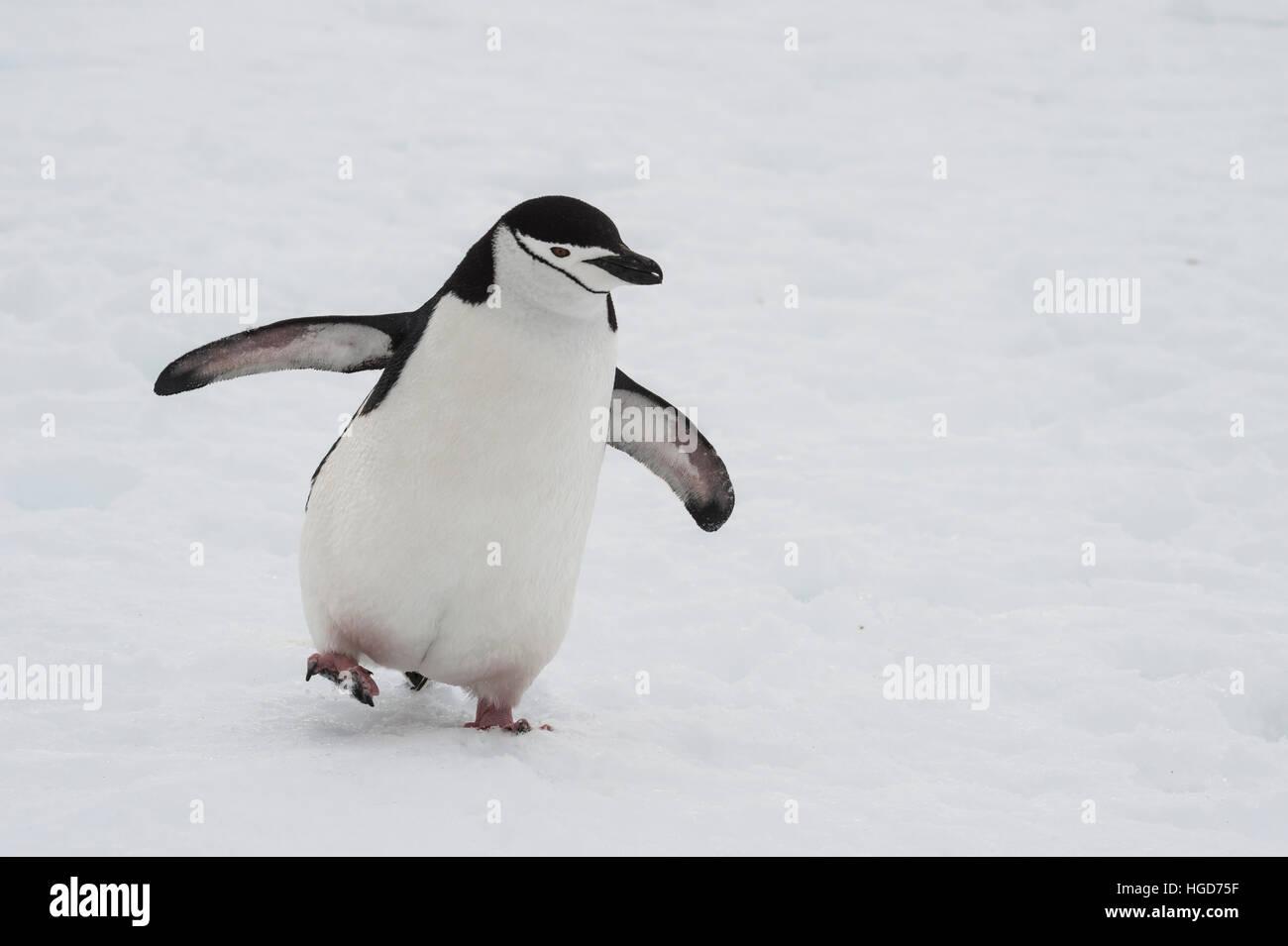 Chinstarp Penguin on the snow - Stock Image