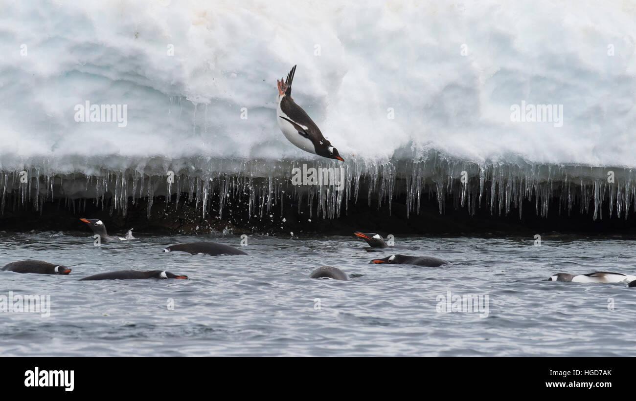 Gentoo Penguin jump in water - Stock Image