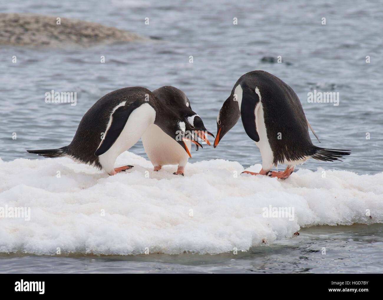 Gentoo Penguin on the ice - Stock Image