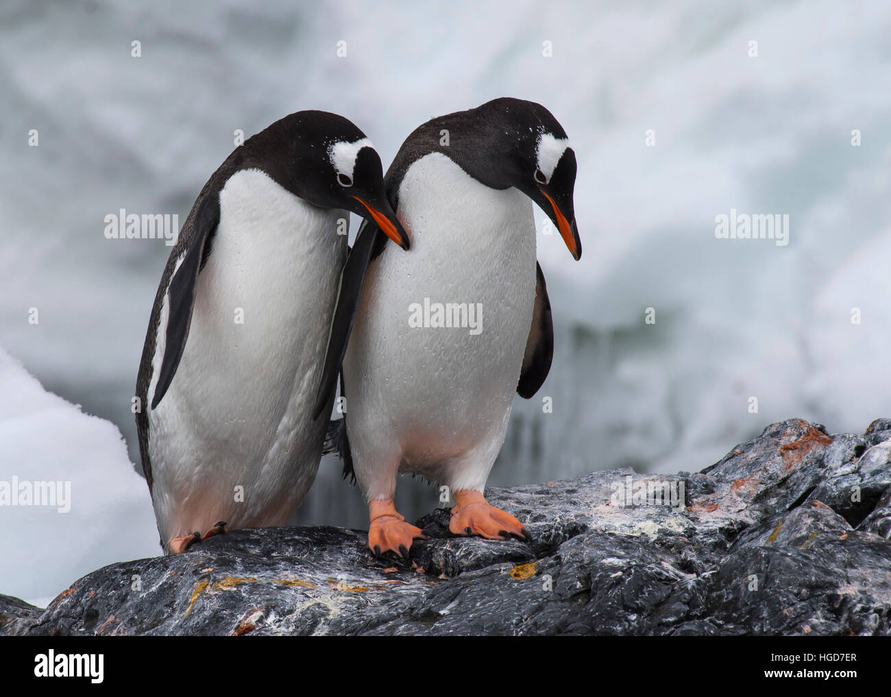 Gentoo Penguin on the rock - Stock Image