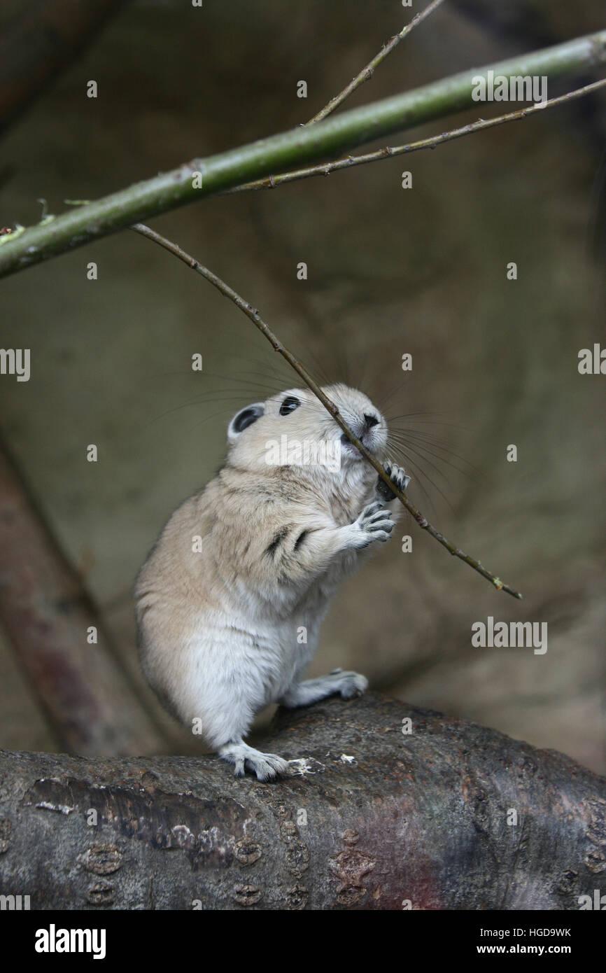 Gundi or comb rat (Ctenodactylus gundi) on a branch. - Stock Image