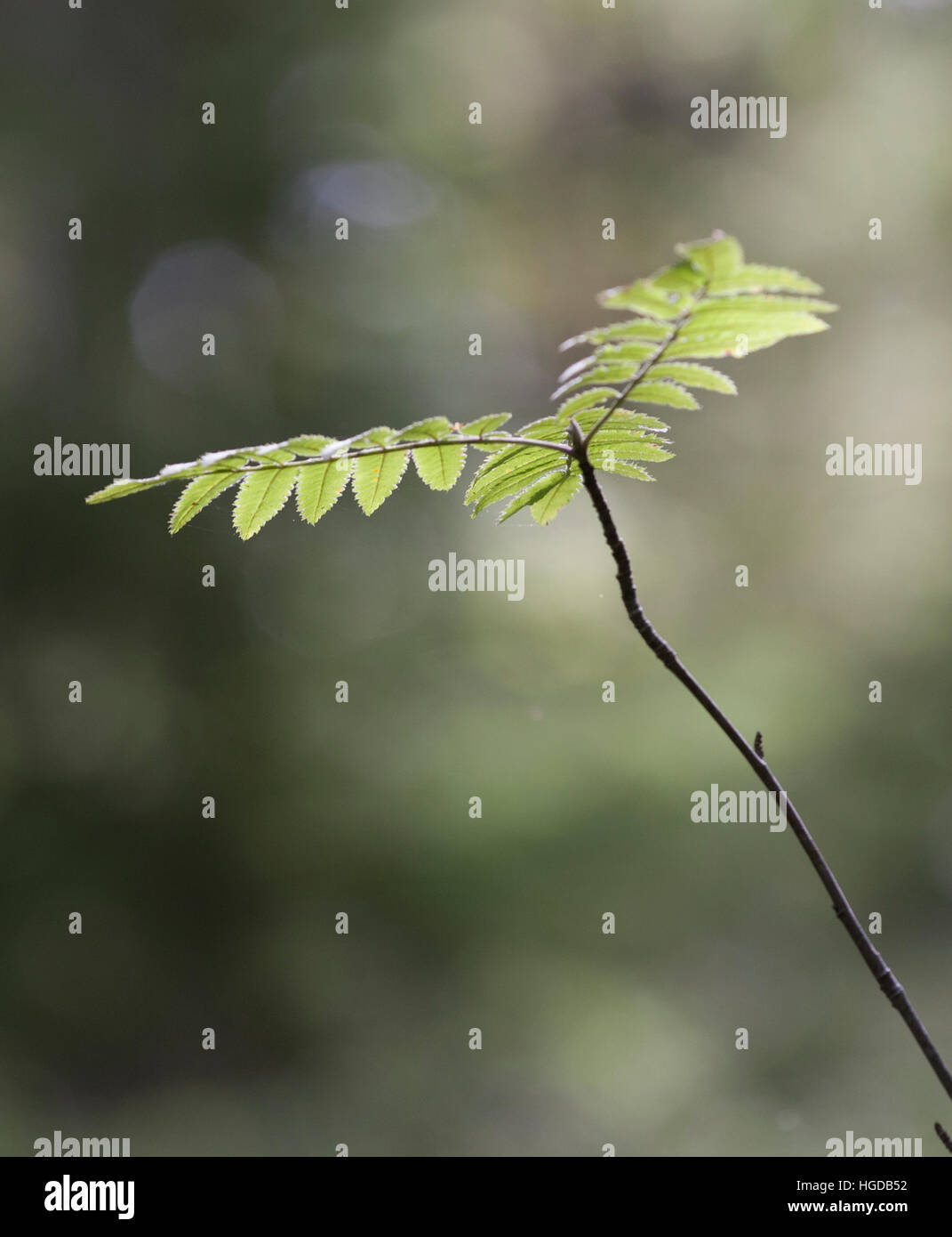 ROWAN BRANCH with leaves - Stock Image