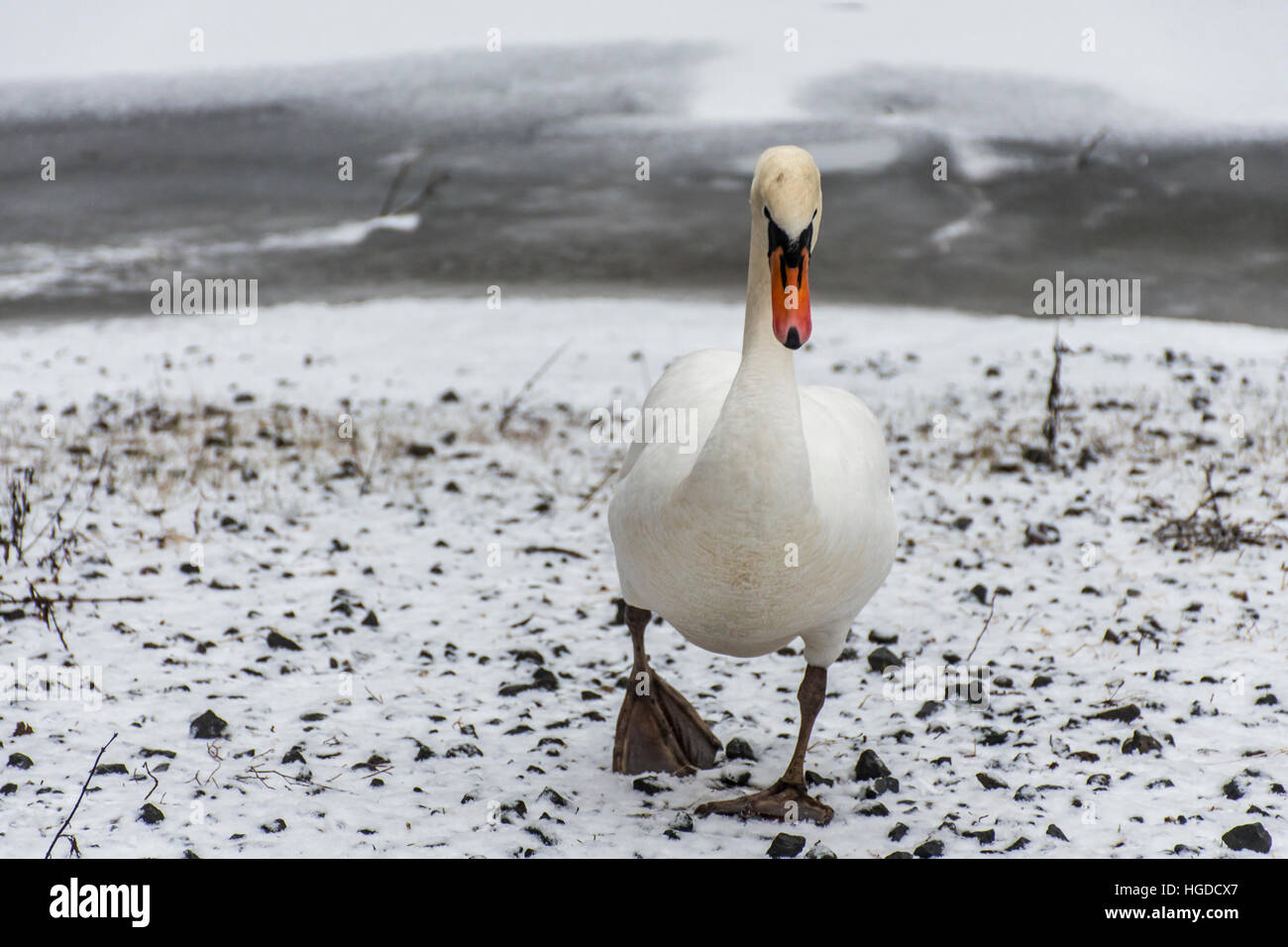 Winter Wonder Land Snow white swan Bird walking close to ice lake 2 - Stock Image