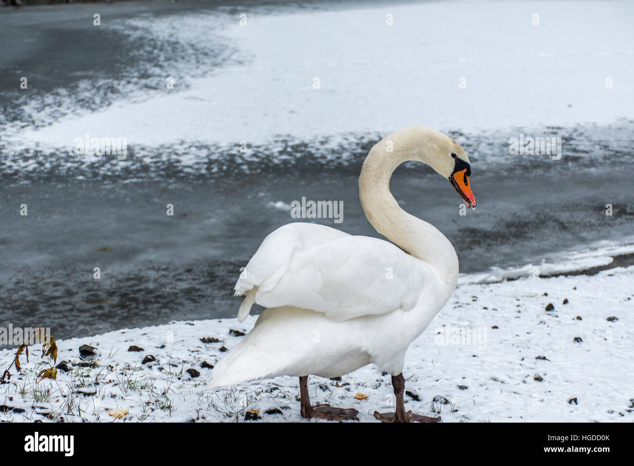 Winter Wonder Land Snow white swan Bird walking close to ice lake 10 - Stock Image