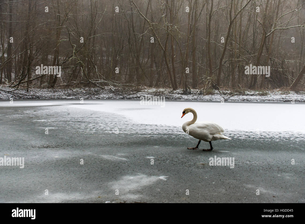 Winter Wonder Land Snow white swan Bird walking close to ice lake 22 - Stock Image