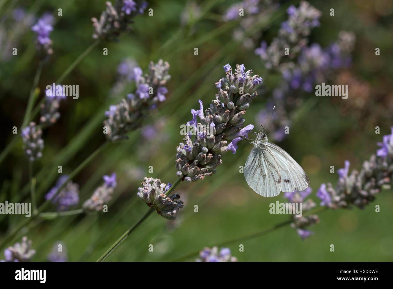 Green-veined White, Pieris napi Single adult feeding on Lavender flowers Essex, UK - Stock Image