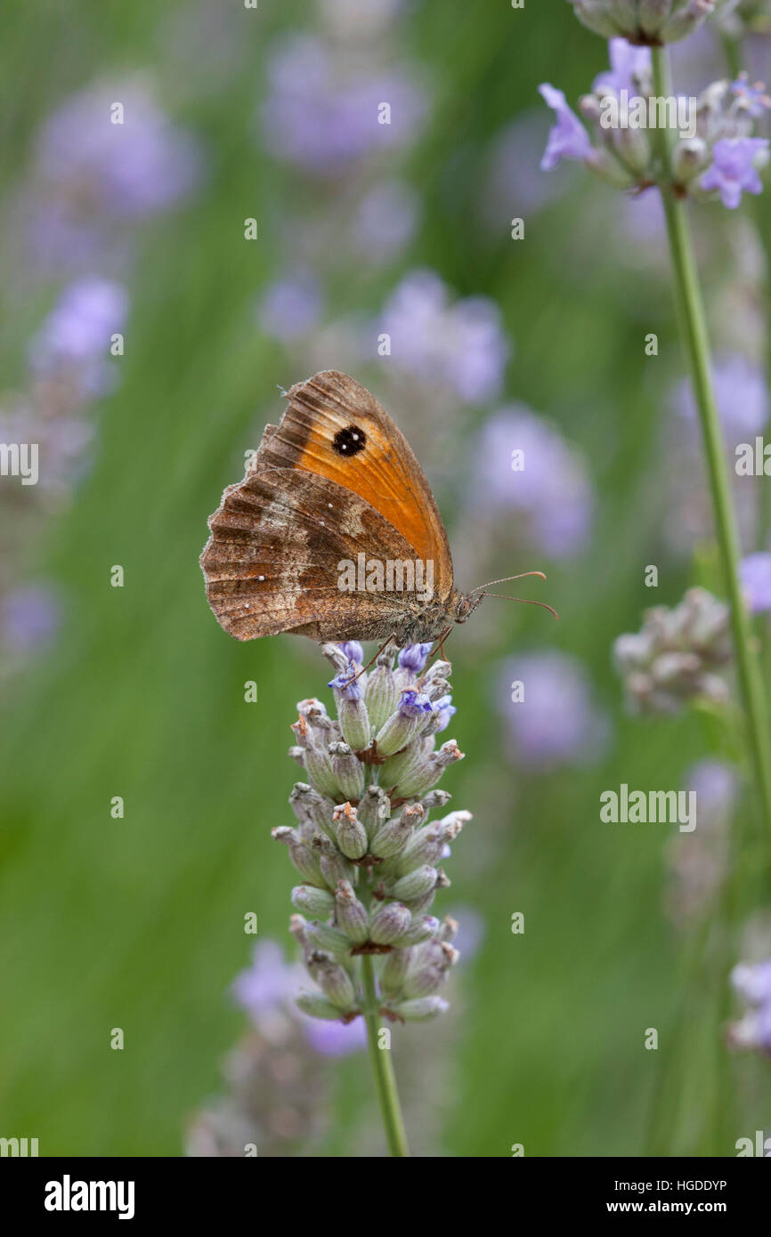 Gatekeeper, Pyronia tithonus Single adult feeding on Lavender flowers Essex, UK - Stock Image