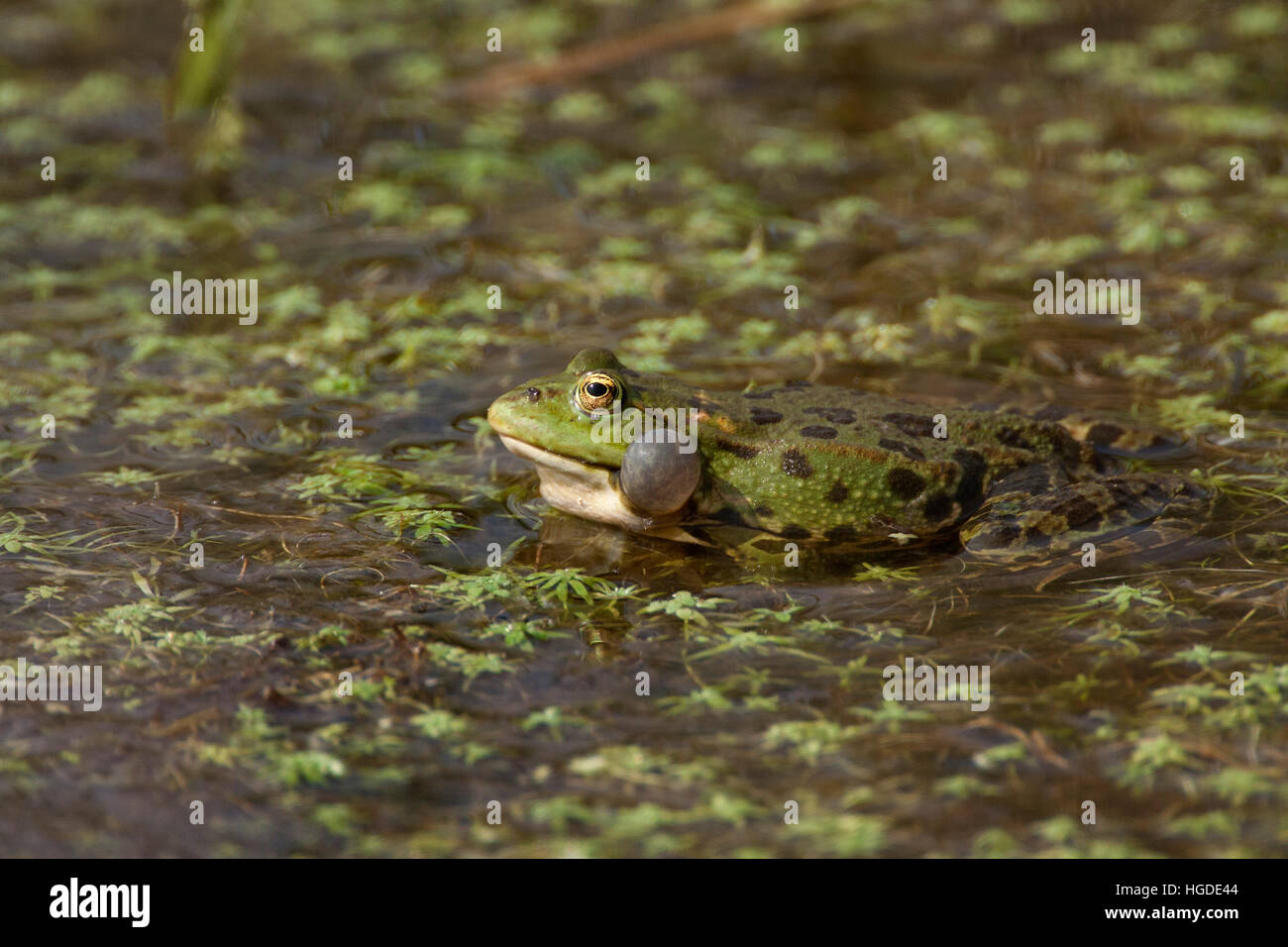 Marsh Frog, Rana ridibunda,  Single adult calling. Rainham Marshes, Essex, UK. - Stock Image