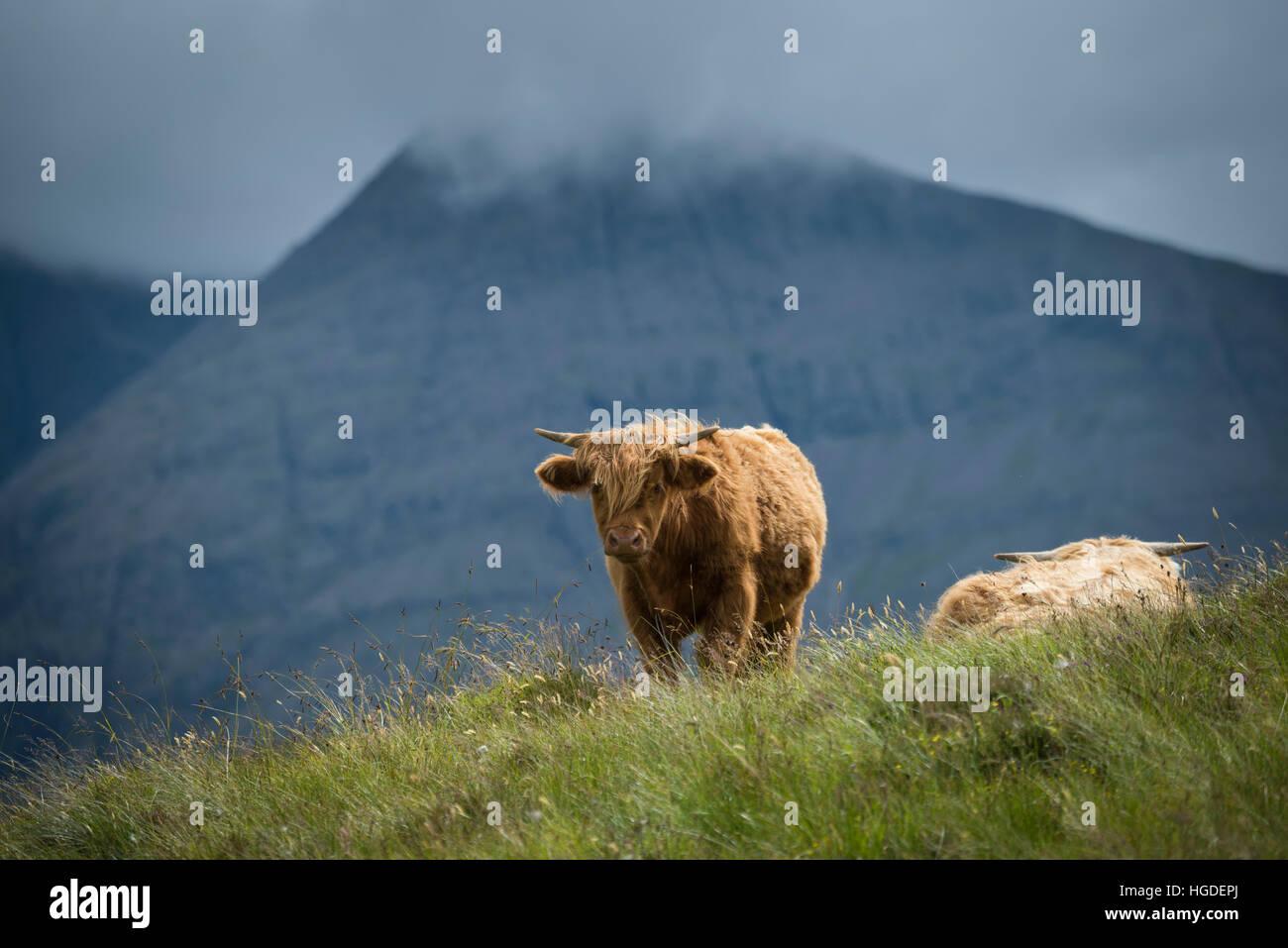 Scotland, Hebrides archipelago, Isle of Skye, Bos taurus, Highland cattle (m) - Stock Image