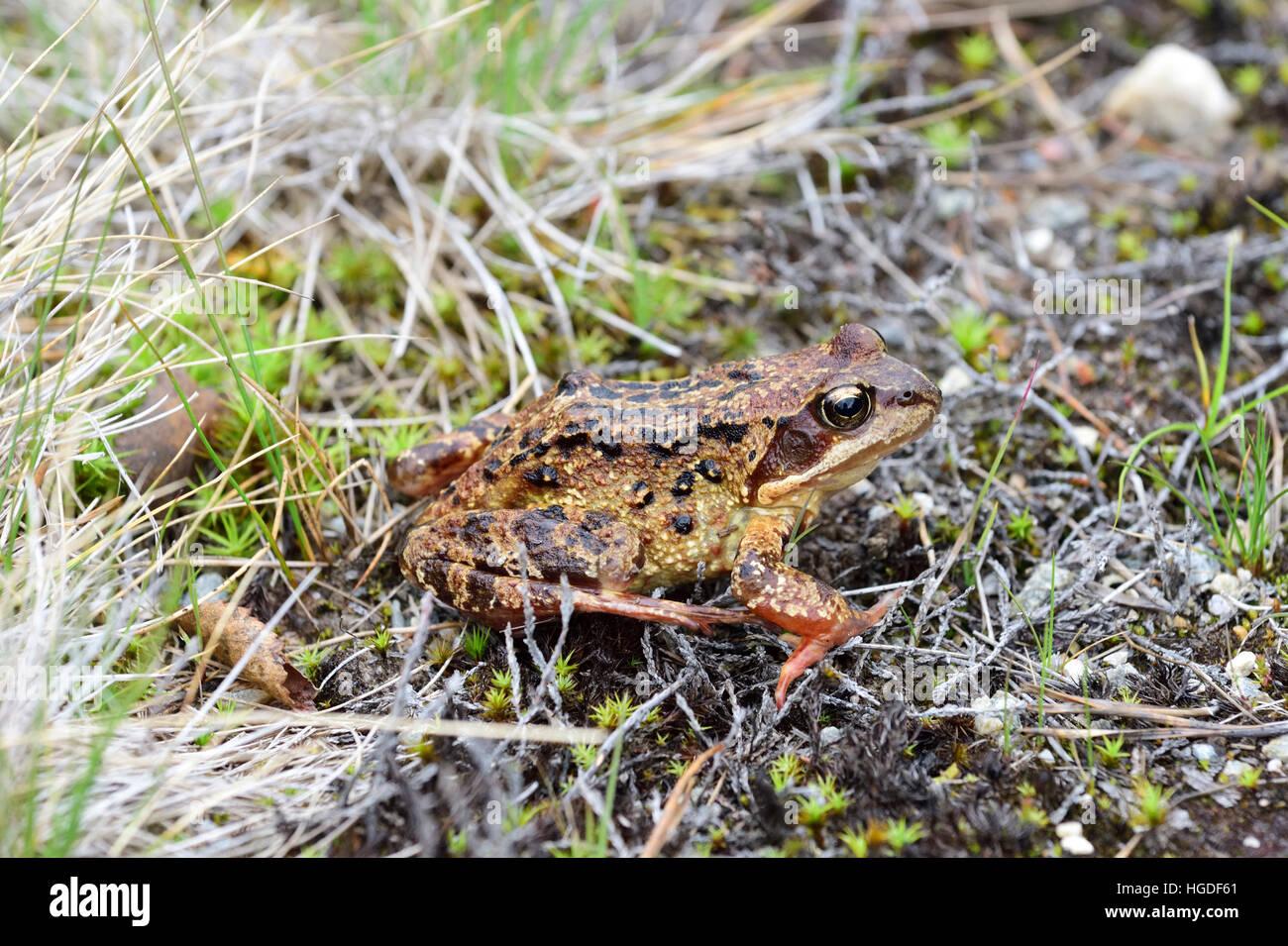 Common Frog, Rana temporaria, - Stock Image