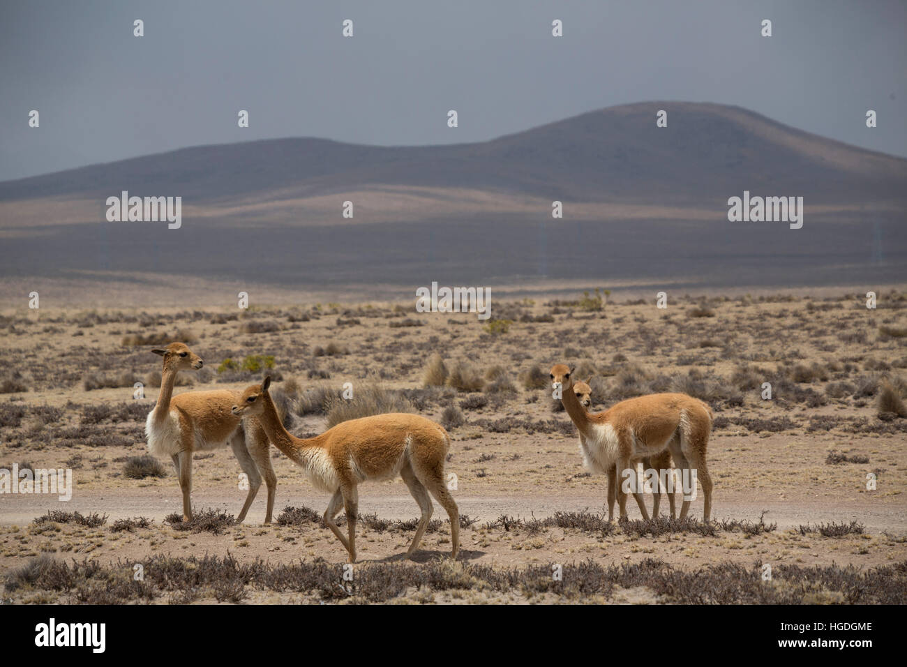Vicunas  in the Zona de Vicunas, - Stock Image